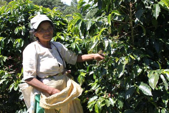Сбор кофе на ферме Эль Кампо