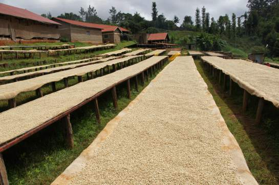Сушка кофе на африканских столах