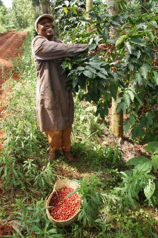 Сбор кофе в кооперативе Гиканда
